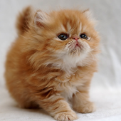 Wallpapers Cute Cats icon