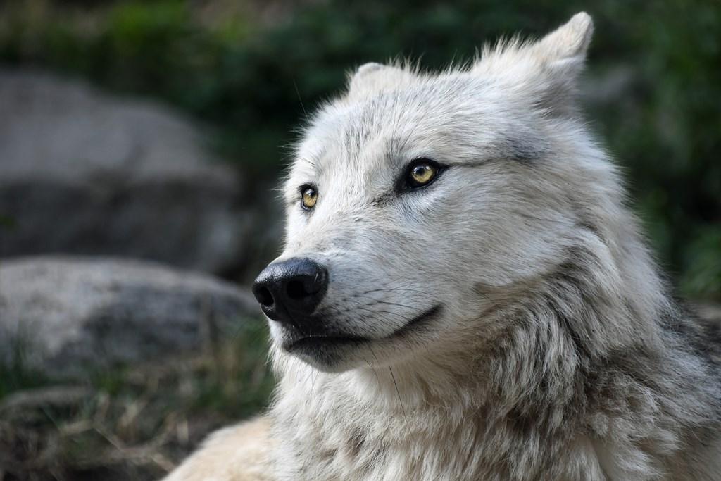 Hintergrundbilder wolf