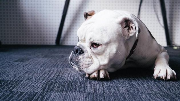 Bulldog Wallpapers screenshot 1