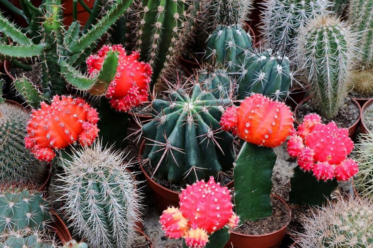Fondos de pantalla de cactus for android apk download for Fotos de cactus