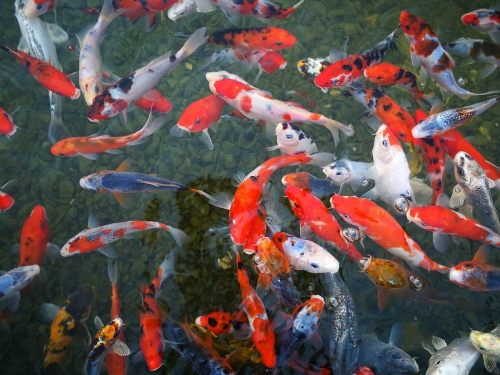 Japanese Koi Fish Wallpapers For Android Apk Download
