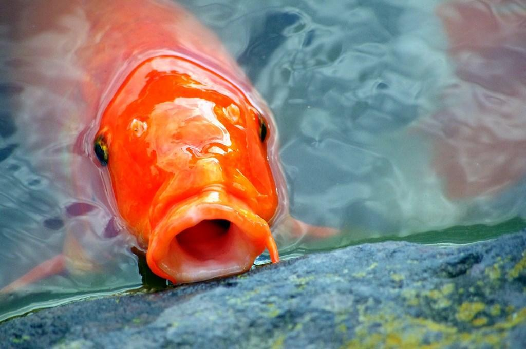 ... Japanese koi fish Wallpapers screenshot 14 ...