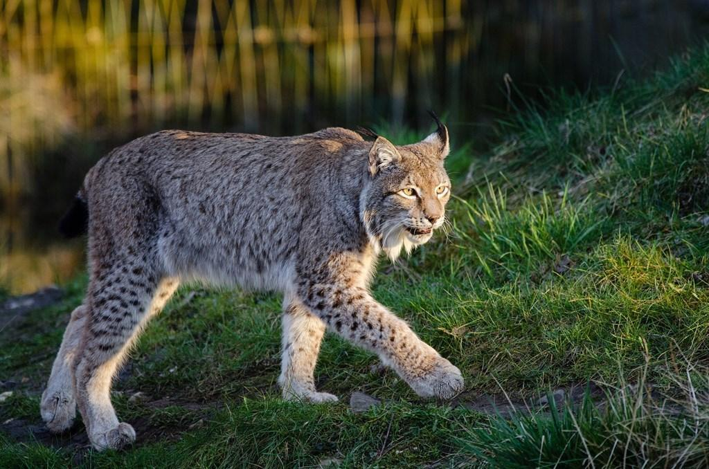 Lynx Wallpapers for Android - APK Download