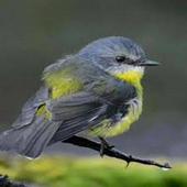 Birds from British Isles Lite icon