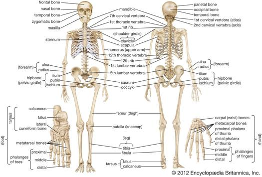 Human Anatomy Atlas Free Apk Download Free Medical App For Android