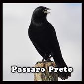 Pássaro Preto Canto Mateiro icon