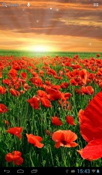 Sunset over a field of poppies poster