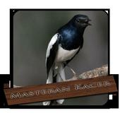 Video Burung Kacer icon