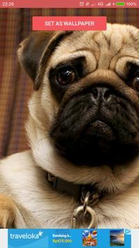 Funny Pugs Wallpapers apk screenshot