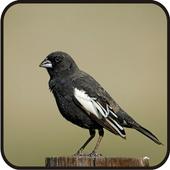 Chirps Lark Bunting Bird New icon