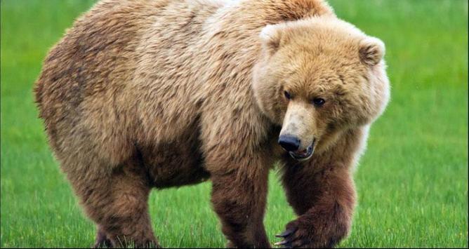 Bear Wallpapers: Bear Images, Free Bear Pictures screenshot 2