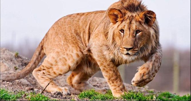 Lion Wallpapers: Free Lion Pics, Lion Backgrounds poster