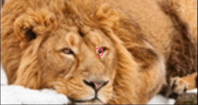 Lion Wallpapers: Free Lion Pics, Lion Backgrounds screenshot 1
