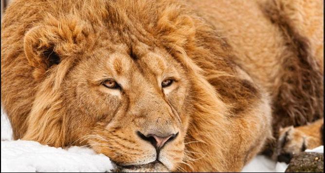 Lion Wallpapers: Free Lion Pics, Lion Backgrounds screenshot 7