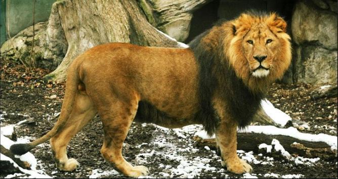 Lion Wallpapers: Free Lion Pics, Lion Backgrounds screenshot 4
