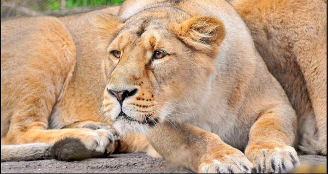 Lion Wallpapers: Free Lion Pics, Lion Backgrounds screenshot 6