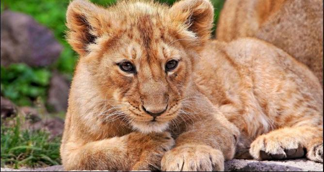 Lion Wallpapers: Free Lion Pics, Lion Backgrounds screenshot 8