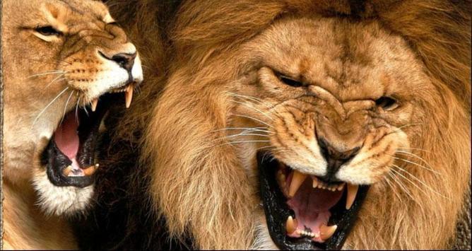 Lion Wallpapers: Free Lion Pics, Lion Backgrounds screenshot 9