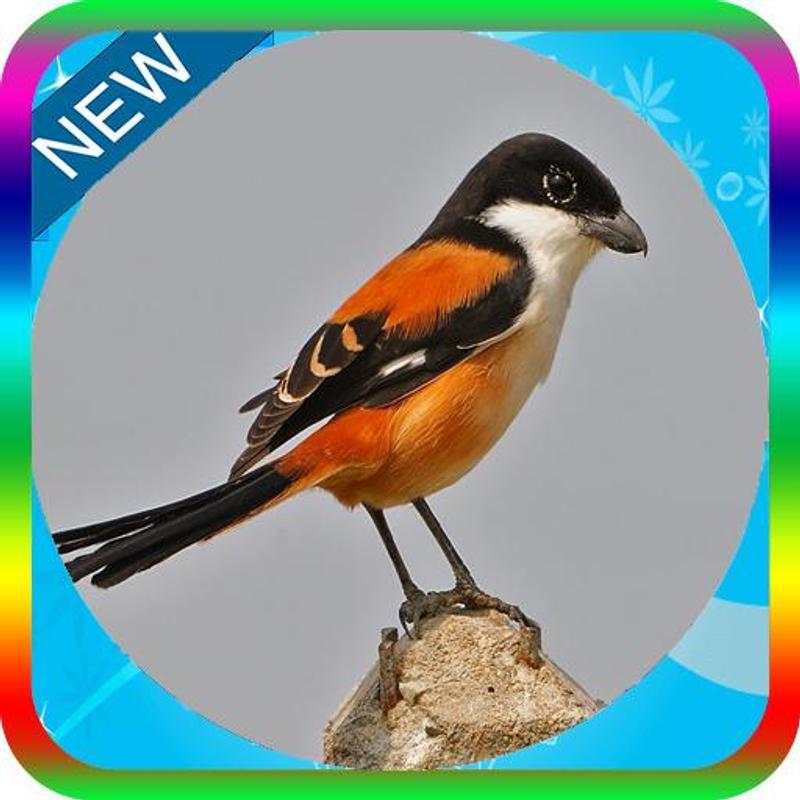 Download mp3 suara burung cendet gacor ngerol serta ngekek.