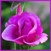 Pink Flowers Wallpapers HD icon