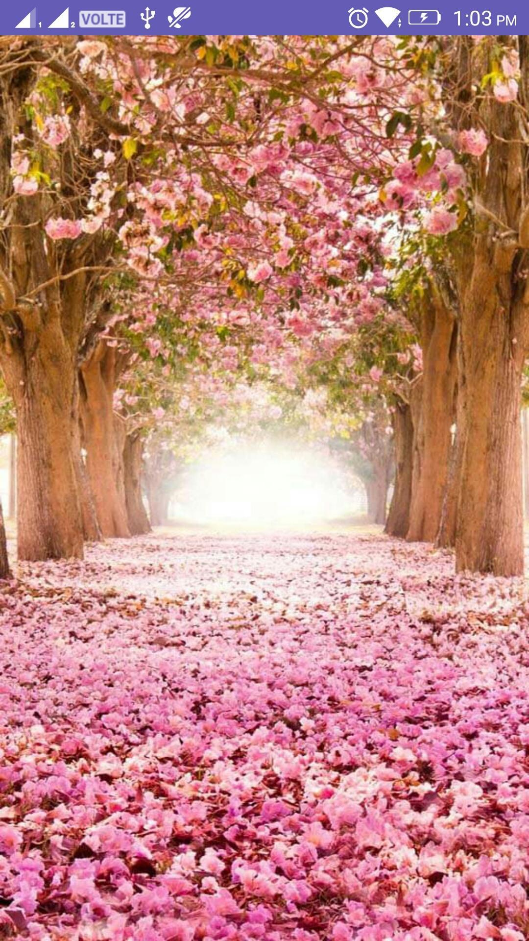 Cherry Blossom 4k Wallpaper For Android Apk Download