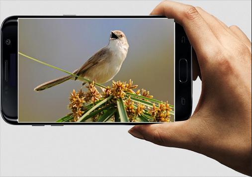Suara Burung Ciblek screenshot 2