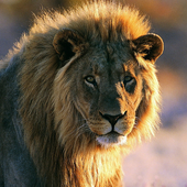Best Lion Jigsaw Puzzles icon