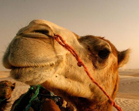 Camel Jigsaw Puzzles apk screenshot