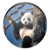 Panda Wallpaper icon