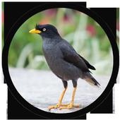 mp3 Burung Jalak Kebo icon