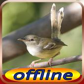 Kicau Burung Ciblek Gunung Isian icon