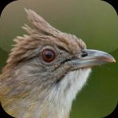 Kicau Burung Kapas Tembak icon