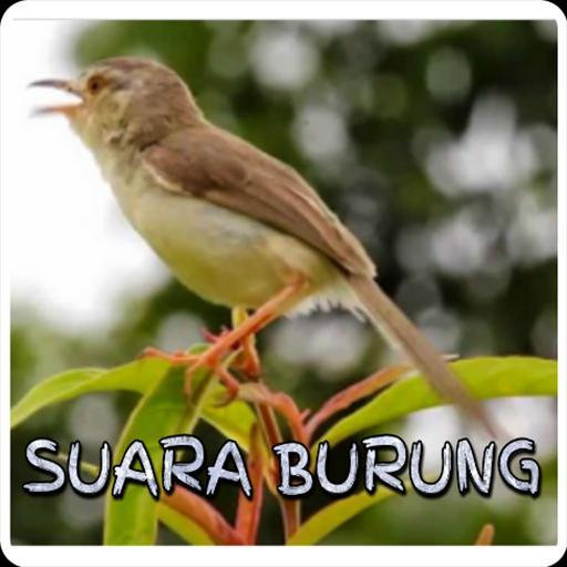 Kicau Ciblek Gunung Gacor For Android Apk Download