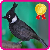 Master Chirping Cililin icon