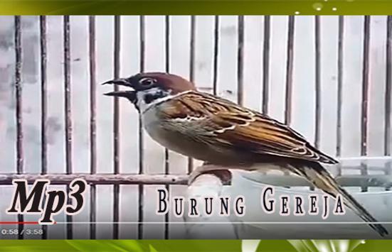 Suara Burung Gereja untuk Masteran kasar screenshot 1
