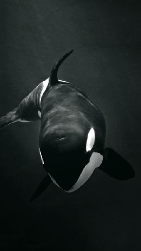 Killer Whale Wallpaper For Android Apk Download