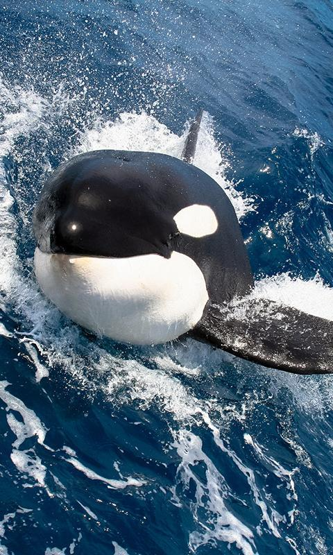 Killer Whale Wallpaper Screenshot 6