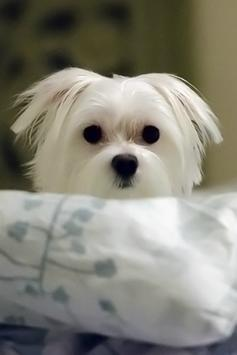 Cute Puppy Wallpapers poster