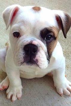 Cute Puppy Wallpapers screenshot 4