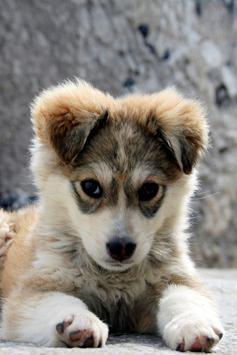 Cute Puppy Wallpapers Apk Screenshot