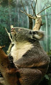 koala bear wallpapers poster