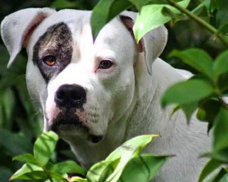 American Bulldog Images Wallp apk screenshot