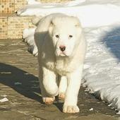 Central Asian Shepherd icon