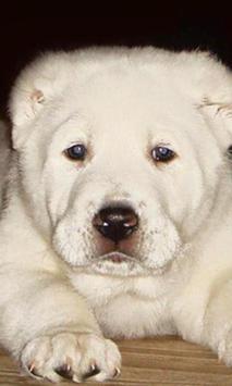 Central Asian Shepherd apk screenshot