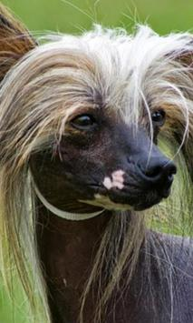 Chinese Crested Dog Wallpapers poster