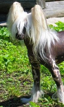 Chinese Crested Dog Wallpapers apk screenshot
