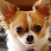 Chihuahua Wallpapers icon