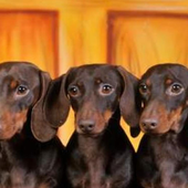 Dachshund hd Wallpapers icon