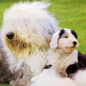 English Sheepdog Wallpapers icon