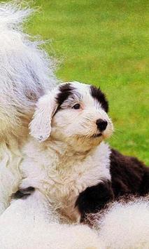 English Sheepdog Wallpapers screenshot 1